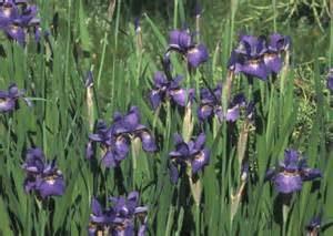 Iris siberia